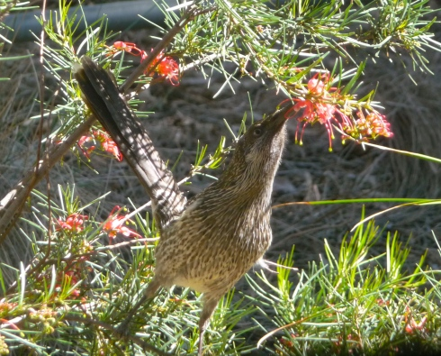 Red Wattlebird Feeding