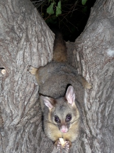 Brush tail possums are tourist attractions after 6pm in Williamstown, Victoria