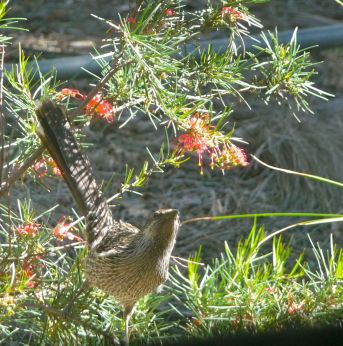 little honeyeater
