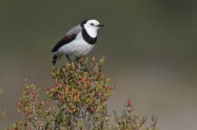white fronted chat
