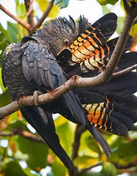 Red-tailed-Black-Cockatoo-ge280-280x360.jpg