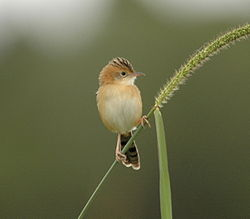 250px-Golden-headed_Cisticola94