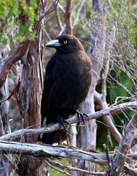 black-currawong-ct280-280x360