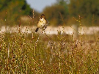 Listen to me! Cisticola singing to the world