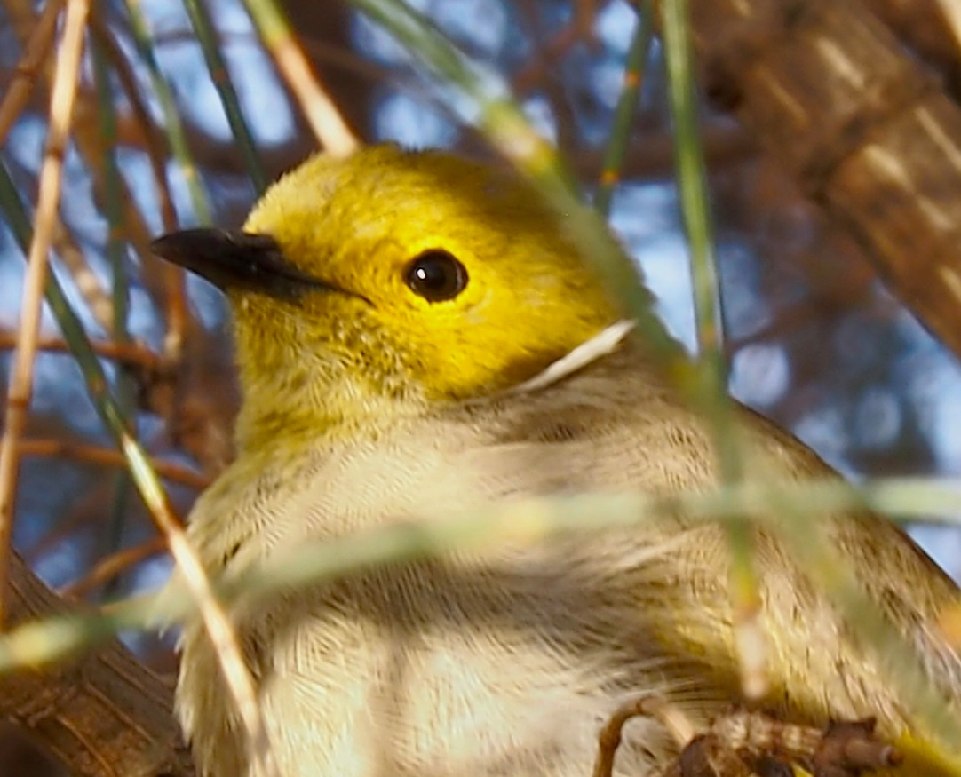 White Plumed Honeyeater in the late afternoon sunshine