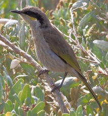 Juvenile Singing Honeyeater