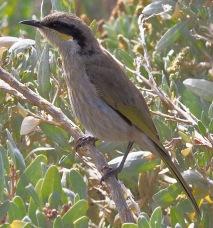 Juvenile Singing Honeyeater