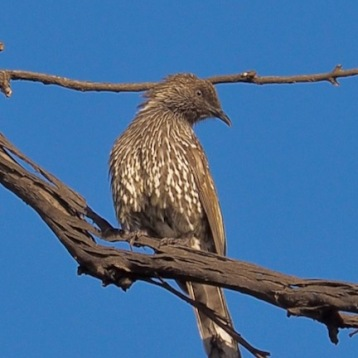 Little Wattlebird looking down from a towering gum