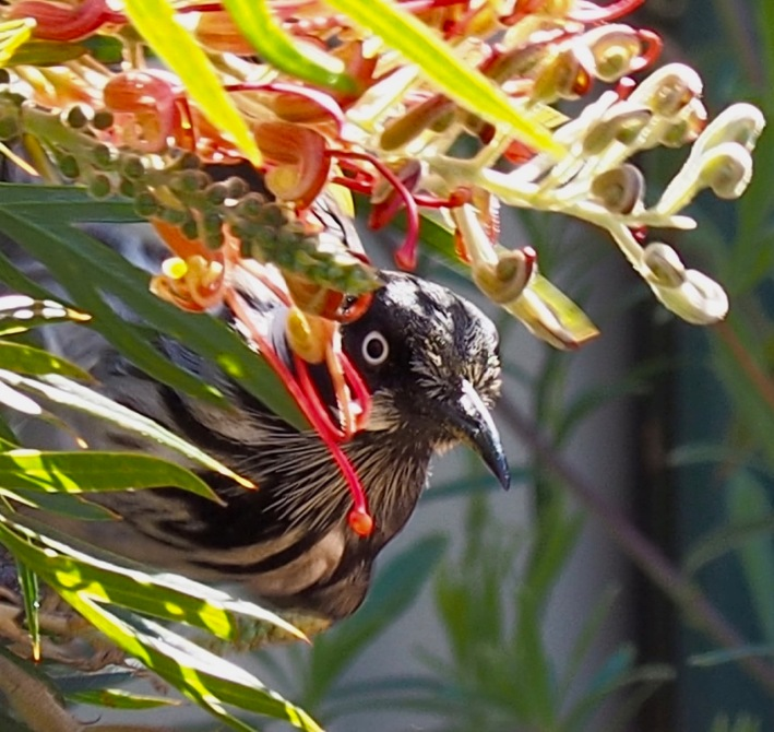 Hello! New Holland Honeyeater