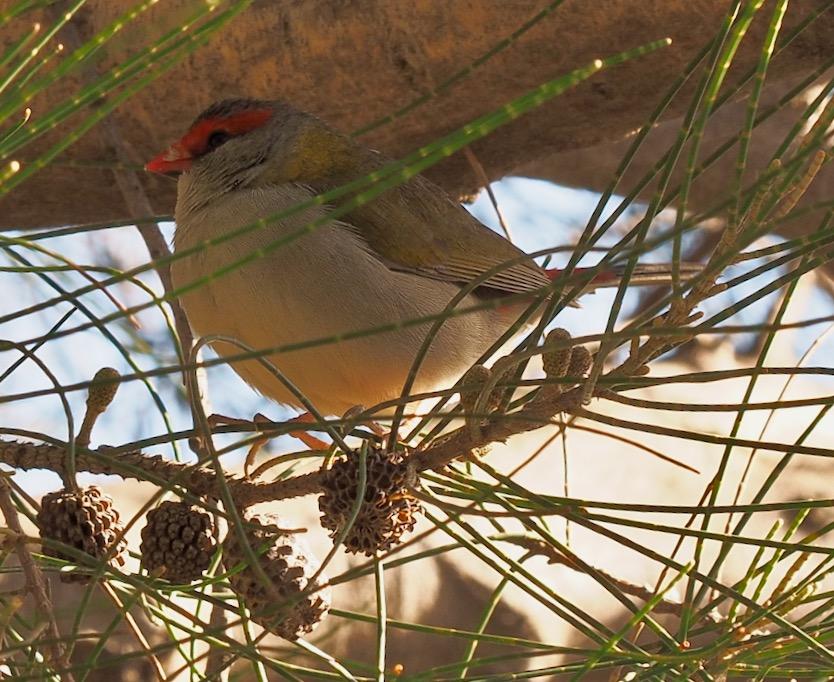 Red Browed Finch in She Oak