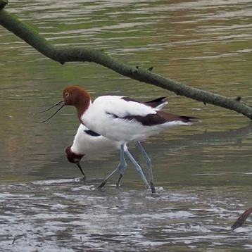 Red Necked Avocets