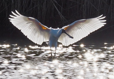 Royal Spoonbill Angel wings