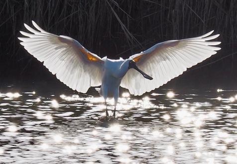 Royal Spoonbill Angel wings