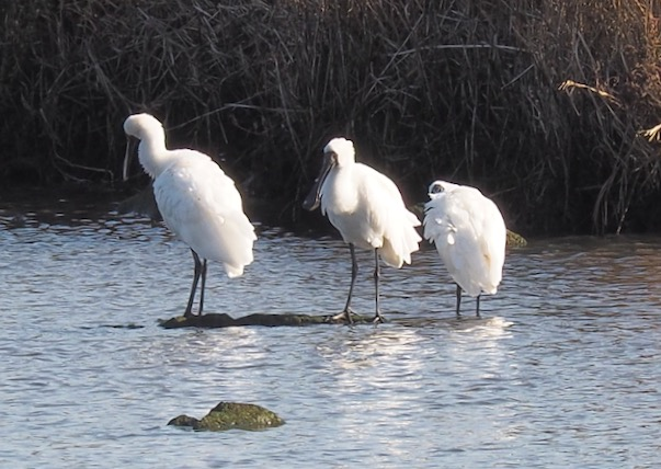 Three Royal Spoonbills preening