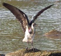 Straw Ibis taking a stretch