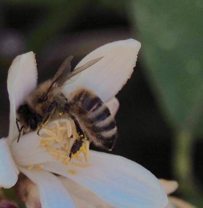 Bee in Lemon flower
