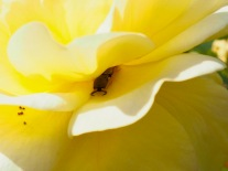 Earwig in rose