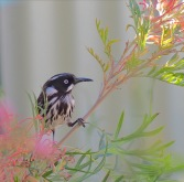 New Holland Honeyeater in Grevillia